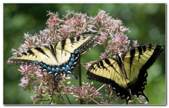 Image Butterfly Brush Footed Butterfly Nectar Pollinator Factory