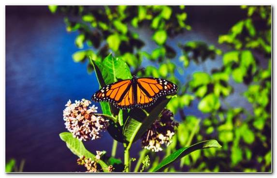 Image Butterfly Brush Footed Butterfly Pieridae Monarch Butterfly Insect