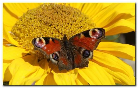 Image Butterfly Flower Lycaenid Pollen Invertebrate