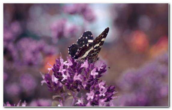 Image Butterfly Flower Moths And Butterflies English Lavender Lilac