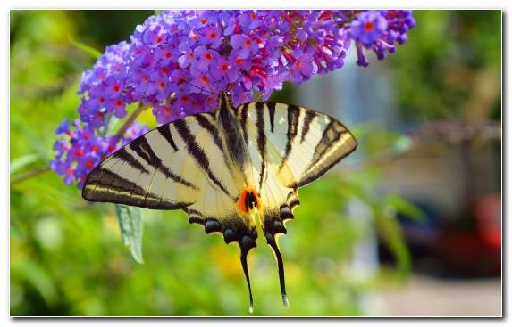 Image Butterfly Flower Pollinator Flora Lepidoptera