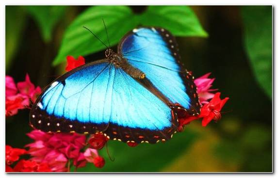 Image Butterfly Gardening Insect Brush Footed Butterfly Poster Invertebrate