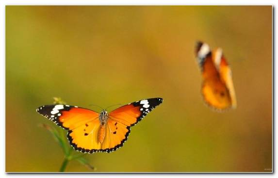 Image butterfly insect lycaenid nectar brush footed butterfly