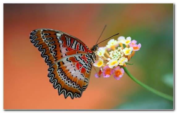 Image Butterfly Invertebrate Pollinator Lycaenid Moths And Butterflies
