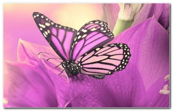 Image Butterfly Monarch Butterfly Art Film Lilac