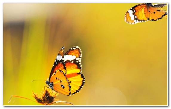 Image Butterfly Monarch Butterfly Moths And Butterflies Brush Footed Butterfly Invertebrate