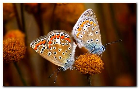 Image butterfly moths and butterflies monarch butterfly lycaenid pollinator