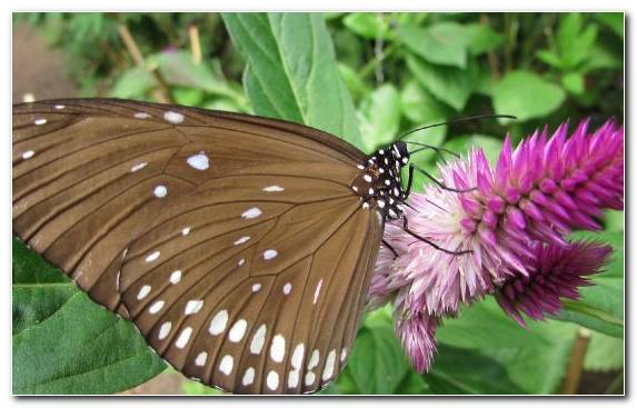 Image Butterfly Pollinator Moths And Butterflies Flower Nectar