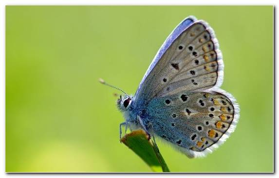 Image Butterfly Wildlife Brush Footed Butterfly Pollinator Insect Wing