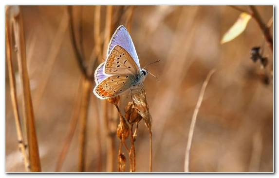 Image Butterfly Wildlife Insect Moths And Butterflies Lycaenid