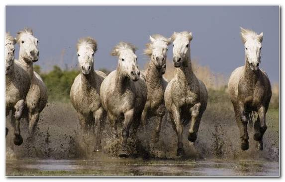 Image Camargue Livestock Sheep Breed Arabian Horse