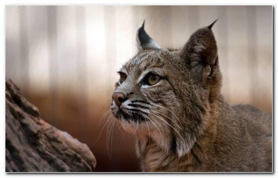 Image Canada Lynx Fauna Big Cat Bobcat Mammal