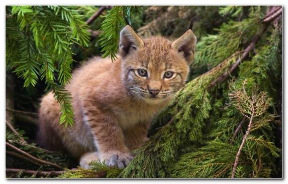 Image Canada Lynx Terrestrial Animal Fauna Small To Medium Sized Cats Kitten