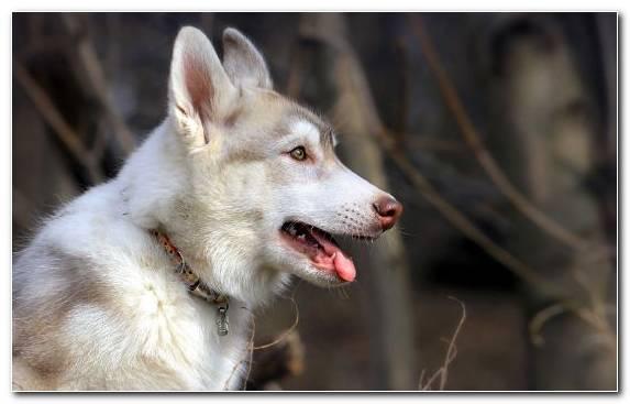 Image Canadian Eskimo Dog Siberian Husky The Siberian Husky Czechoslovakian Wolfdog Wolfdog