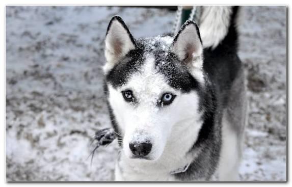 Image Canadian Eskimo Dog Dog The Siberian Husky Seppala Siberian Sleddog Tamaskan Dog