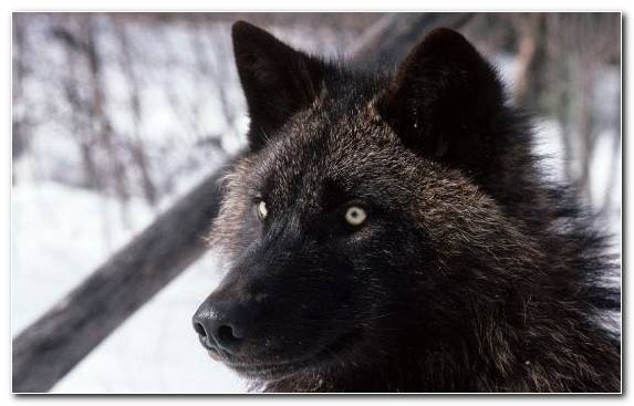 Image Canis Lupus Tundrarum Wildlife Mammal Snout Alaskan Tundra Wolf