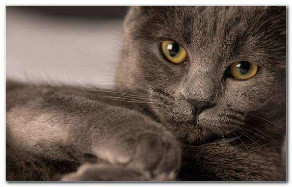 Image Cat Animal Small To Medium Sized Cats Chartreux Whiskers