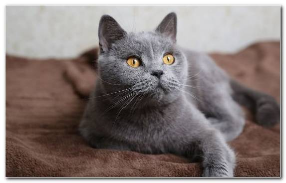 Image Cat Breed Cat Snout Small To Medium Sized Cats Chartreux