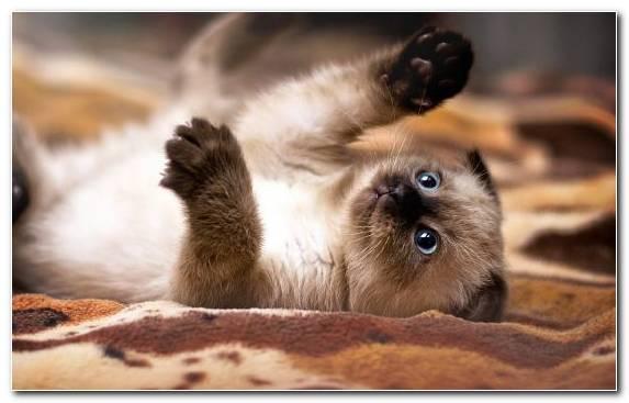 Image cat breed fur cat moustache meow