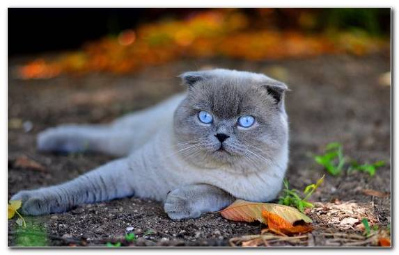 Image Cat Breed Moustache Scottish Fold British Shorthair Animal