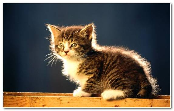 Image Cat Breed Tabby Cat Small To Medium Sized Cats Moustache Cat