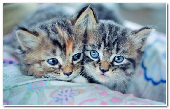 Image Cat Dragon Li Kitten American Shorthair