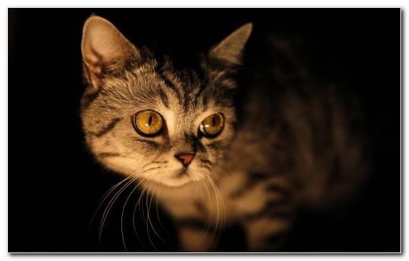 Image Cat Face Black Cat Kitten Darkness