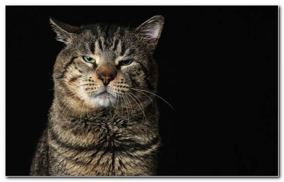 Image Cat Grumpy Cat European Shorthair Small To Medium Sized Cats Kitten