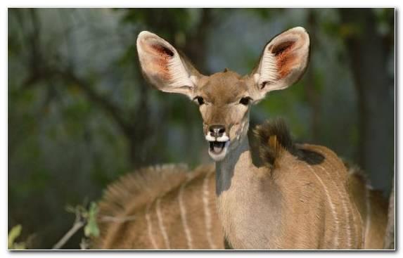 Image Cat Impala Antelope Deer Kudu