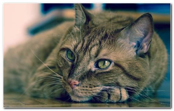 Image cat moustache aegean cat face tabby cat