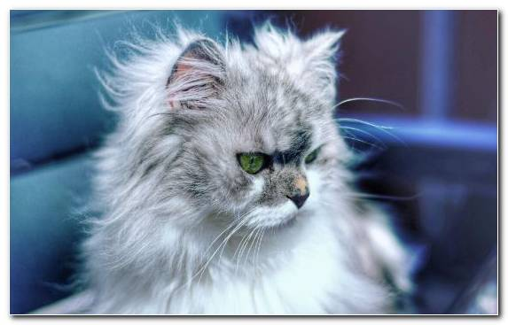 Image Cat Moustache Eye Persian Cat Whiskers