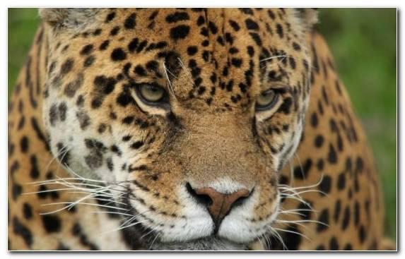 Image Cat Moustache Leopard Whiskers Wildcat