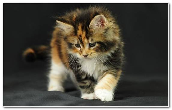 Image Cat Norwegian Forest Cat Vertebrate Small To Medium Sized Cats Dog Like Mammal