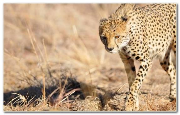 Image Cat Puma Grassland Leopard Jaguar