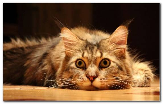 Image cat small to medium sized cats art kitten maine coon