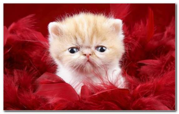 Image Cat Whiskers Moustache Kitten Persian