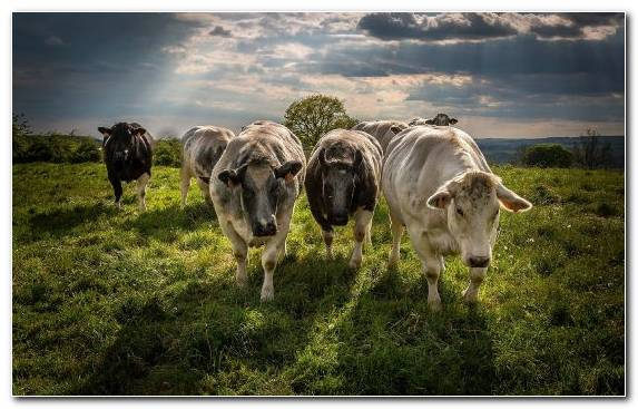 Image Cattle Meadow Dairy Cow Field Grassland