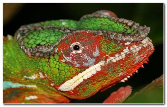 Image Chameleons Fauna Lizard Colorful Chameleons Terrestrial Animal