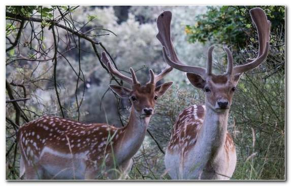 Image Champagne Wildlife Terrestrial Animal White Tailed Deer Wilderness