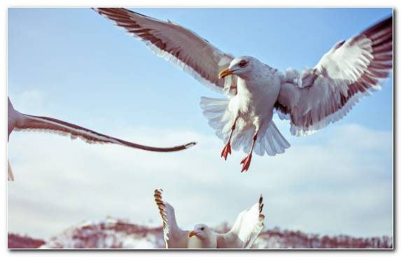Image Charadriiformes Wing Gulls Apples Seabird