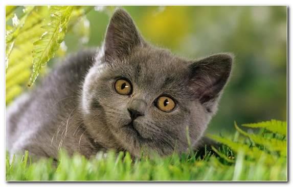 Image Chartreux British Longhair Mammal Cat Korat