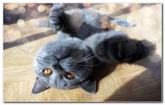 Image Chartreux Felidae Fur British Shorthair Catgirl