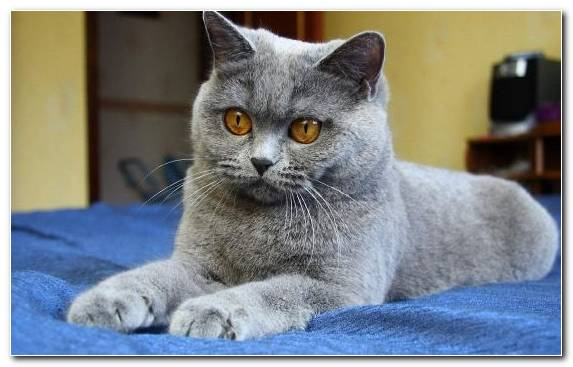 Image Chartreux Moustache Race Kitten Whiskers
