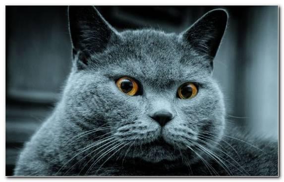 Image Chartreux Whiskers Kitten Moustache Snout