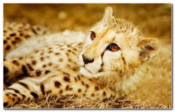 Image Cheetah Big Cats Moustache Whiskers Cat