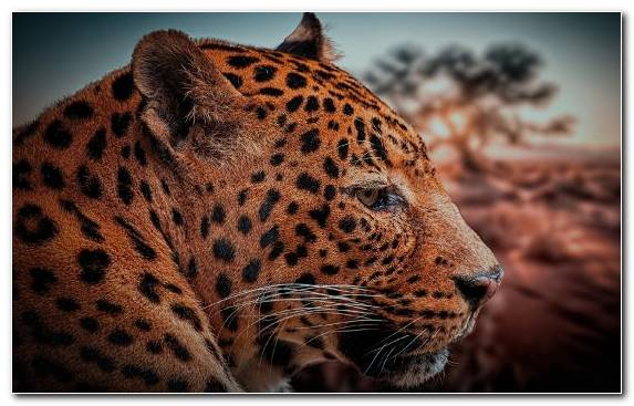 Image Cheetah Leopard Whiskers Wildlife Moustache