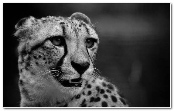 Image Cheetah Mammal Snout Terrestrial Animal King Cheetah