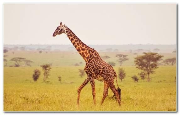 Image cheetah plain terrestrial animal hippopotamus safari