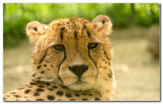 Image Cheetah Snout Desert Puma Lion