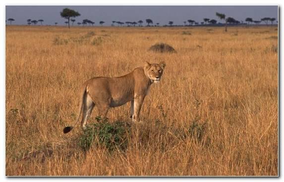 Image cheetah terrestrial animal ecosystem design savanna